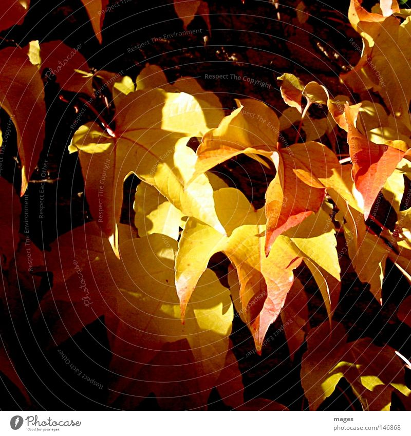 Lichtblick Sonne Pflanze rot Blatt gelb dunkel Herbst Wand hell Wein Vergänglichkeit herbstlich Kletterpflanzen Weinblatt rotgelb Wilder Wein