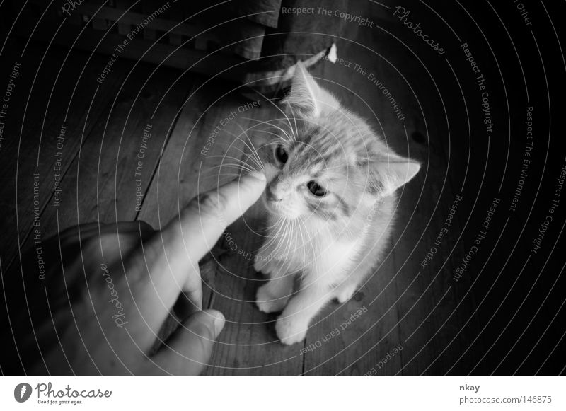 Poke the Cat Katze Säugetier Haustier Hauskatze schubsen