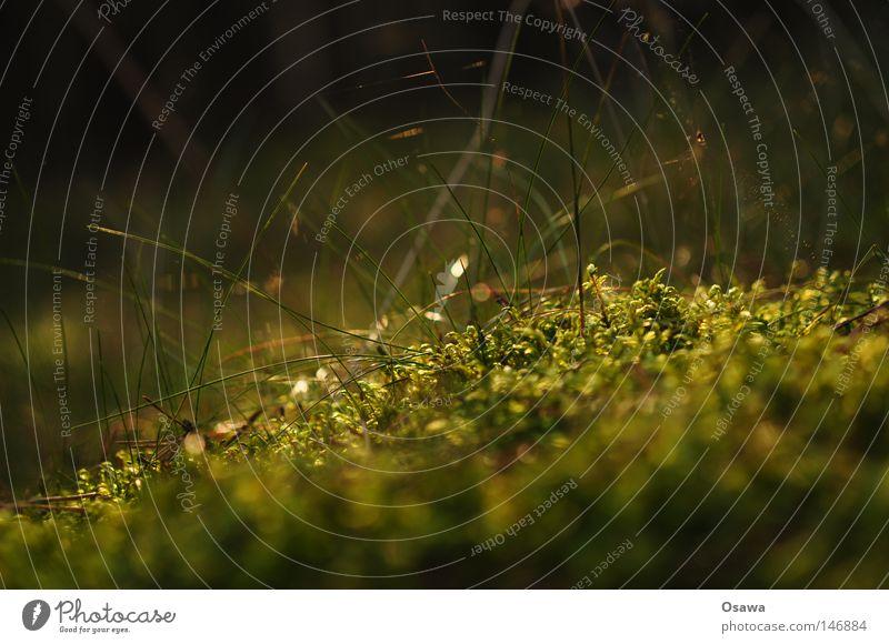 Dreier grün Waldboden weich Tiefenschärfe Gras dunkel Unschärfe Pflanze Umwelt Lebensraum klein Herbst Park Watte Moos Makro Nahaufnahme Gräser unscharf