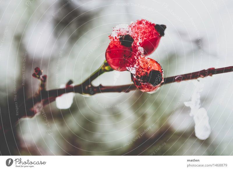 Hetscherleis Winter Schnee Pflanze Rose frieren glänzend saftig braun rot weiß Hagebutten Hundsrose tauen Eis Farbfoto Außenaufnahme Nahaufnahme Menschenleer