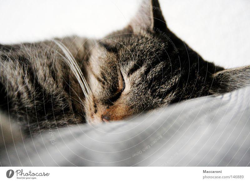 Süßheitsfaktor 100% Katze weiß Tier schwarz Haare & Frisuren Glück träumen liegen Zufriedenheit wild Wildtier niedlich schlafen Nase Bett Fell