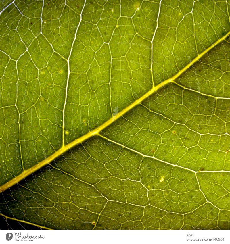 Das Blatt 32 Pflanze Linde Lindenblatt grün Botanik Pflanzenteile Kletterpflanzen pflanzlich Umwelt Sträucher Gegenlicht krumm Hintergrundbild Baum nah Licht