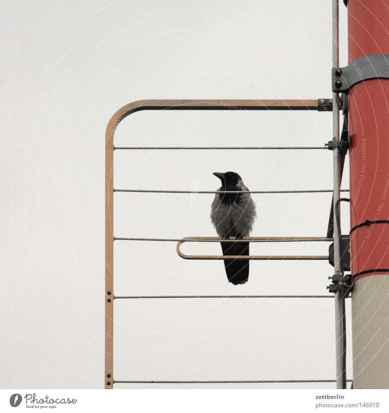 Krähe ruhig Erholung Vogel warten sitzen Pause Freizeit & Hobby Strommast Antenne Stab Mast Fahnenmast Telefonmast Rabenvögel Sender