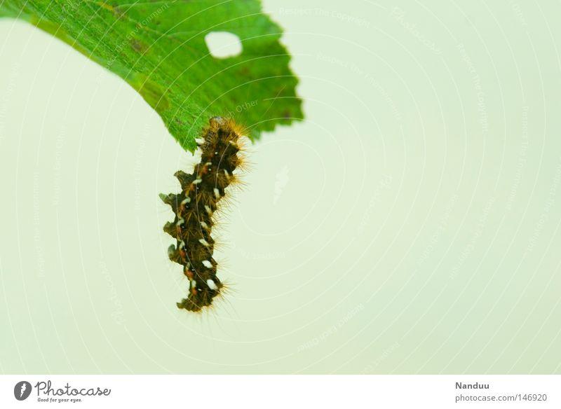 Abhängen Blatt Tier Erholung Herbst Insekt Vergänglichkeit Schmetterling Appetit & Hunger Raupe unvollendet