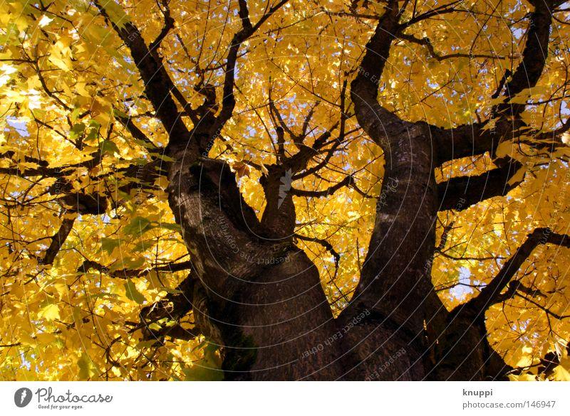 yellow dreams schön Natur Herbst Pflanze Baum Blatt alt leuchten Wachstum außergewöhnlich groß hell gelb gold Kraft Perspektive Umwelt Farbfoto mehrfarbig