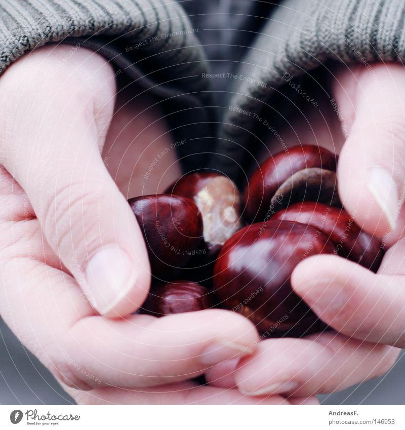 Kastanien sammeln II Kastanienbaum Sammlung Basteln Hand festhalten Herbst Oktober Dekoration & Verzierung kastanien sammeln herbstlich