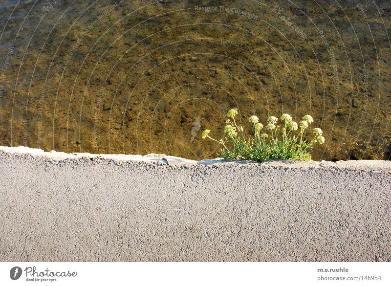 Mauerblümchen Blume Pflanze Am Rand Blüte Beton Wasser Sträucher Sommer Kraft gelbe Blüte Spalte