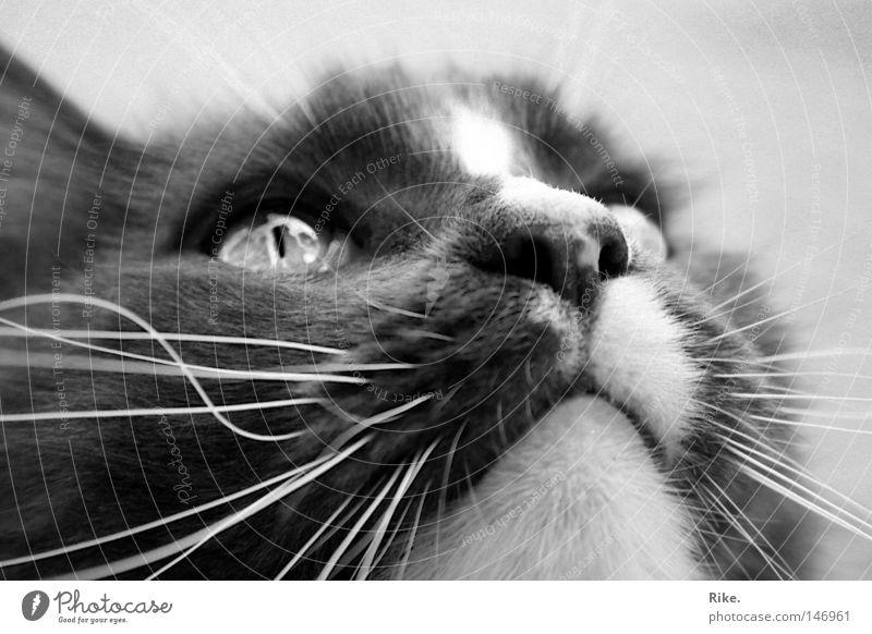 Die Neugier der Katze. Tier Fell Haustier Tiergesicht 1 beobachten träumen schön kuschlig natürlich niedlich weich achtsam Wachsamkeit Katzenbaby Hauskatze Nase