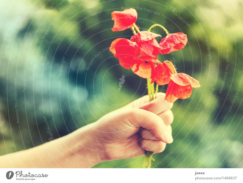 Nimm das! feminin Arme Hand Sommer Blume Klatschmohn verrückt schön grün rot Unlust schuldig Reue Frustration Verbitterung Aggression welk Versöhnung halbherzig