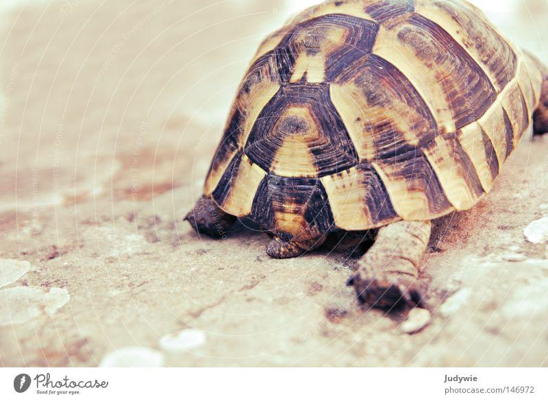 Langsam kommt man auch ans Ziel ... Schildkröte gepanzert Panzer Muster krabbeln langsam Geschwindigkeit laufen Türkei Tier Wildtier Abschied gehen Süden Sommer