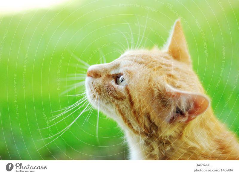 Red Tiger 13 Fell Katze Freundlichkeit grün rot Säugetier tigi Hauskatze mietzi cat kitten Schnurrhaar schurrhaare getigert rot traurig Nase Auge Profil