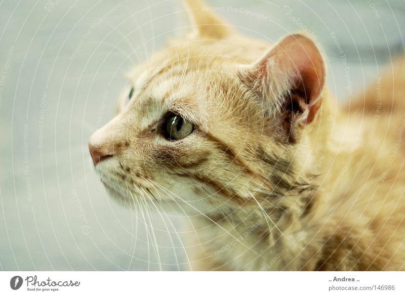Red Tiger 14 Fell Katze Freundlichkeit grau rot Schnurrhaar Säugetier tigi Hauskatze mietzi cat kitten schurrhaare getigert rot traurig Nase Auge Silhouette