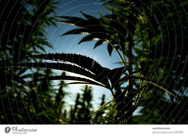 Hanf am Morgen... Industriehanf Blatt Himmel Licht Feld Plantage Rauschmittel ungesetzlich Sucht Cannabis Rauchen Homegrow Drogenpolitik Legalisierung