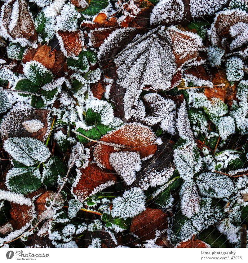 fallen (frozen) leaves Winter Herbst Blatt Frost Eis Schnee frieren kalt Schneekristall Eiskristall Bodenbelag Waldboden Baum Pflanze Jahreszeiten Muster