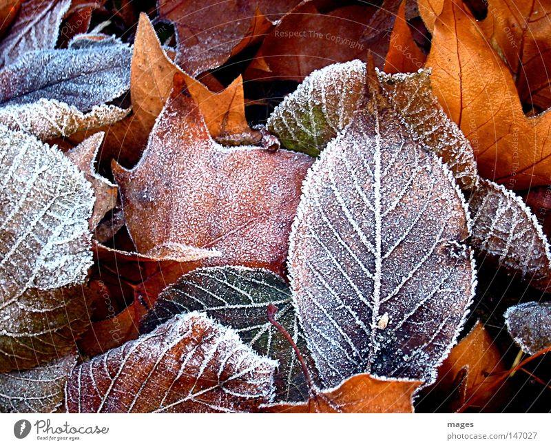 Reif Farbfoto Außenaufnahme Detailaufnahme Strukturen & Formen Menschenleer Winter Umwelt Natur Herbst Wetter Eis Frost Blatt Park kalt braun gelb gold schön