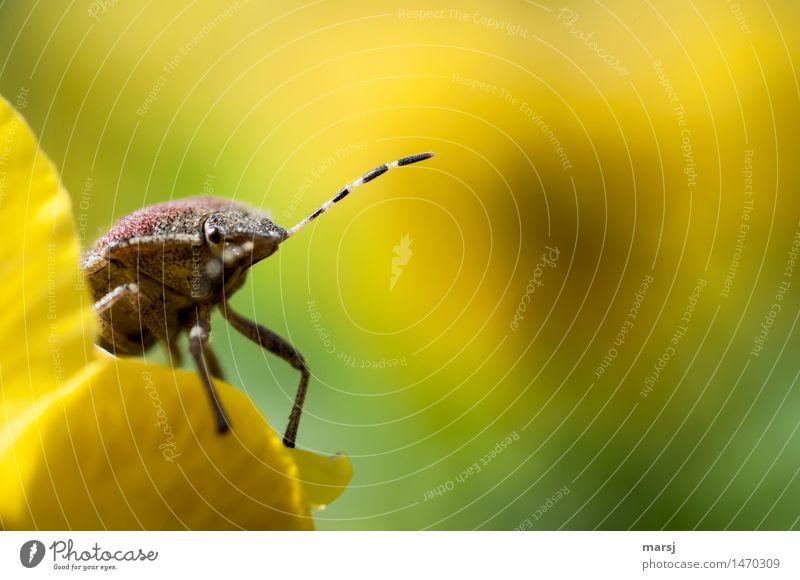 bye bye Wochenende Natur Tier Wildtier Insekt Fühler schildkäfer Wanze 1 beobachten hocken leuchten außergewöhnlich dünn authentisch Ekel gruselig Neugier
