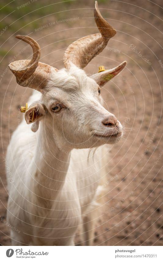 Ziegenbock Tier Nutztier Zoo 1 natürlich Neugier niedlich braun weiß Horn Farbfoto Außenaufnahme Menschenleer Tag Zentralperspektive Tierporträt
