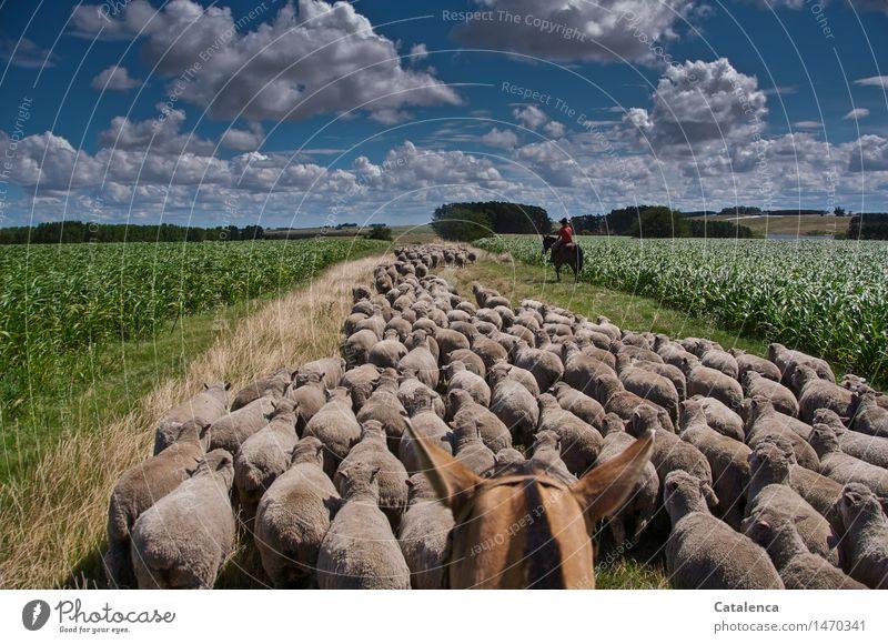 Schafe treiben Reiten Schäfer maskulin Junge Frau Jugendliche Familie & Verwandtschaft 1 Mensch 13-18 Jahre Umwelt Natur Landschaft Pflanze Tier Wolken Sommer