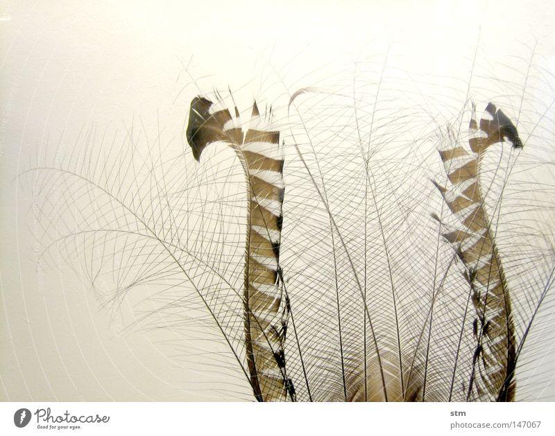 zart fein filigran prächtig braun Schwung geschwungen Fächer leicht Luft weich Leichtigkeit schön Qualität Vogel Feder filigranität feather fliegen Bogen