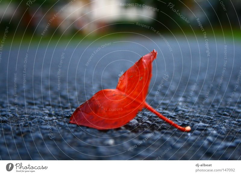 blättrige angelegenheit Blatt Herbst Straße Asphalt grau Natur rot Hoffnung harmonisch Makroaufnahme Nahaufnahme abgefallen Außenaufnahme