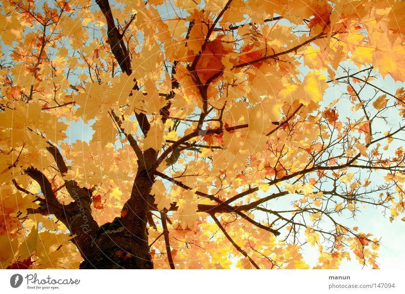 Sonniger Herbst I Blatt Baum Spitzahorn Ahorn gelb Färbung Physik Jahreszeiten schön Oktober prächtig Park Farbe Schönes Wetter gold Wärme Graffiti Natur