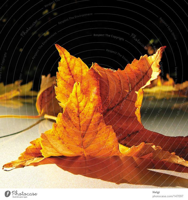 leuchtend gelbe vertrocknete Blätter im Sonnenlicht Herbst Blatt fallen Ahorn Ahornblatt Spitzahorn Spitze färben Farbe Baum liegen braun Herbstfärbung