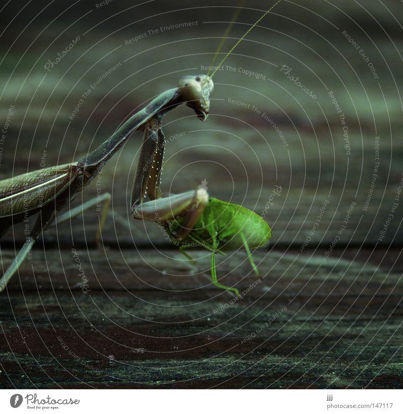 Imbiss Natur Ernährung Tier Tod Insekt Holz Lebensmittel frisch Macht Ende Makroaufnahme fangen Wildtier lecker Jagd Fleisch