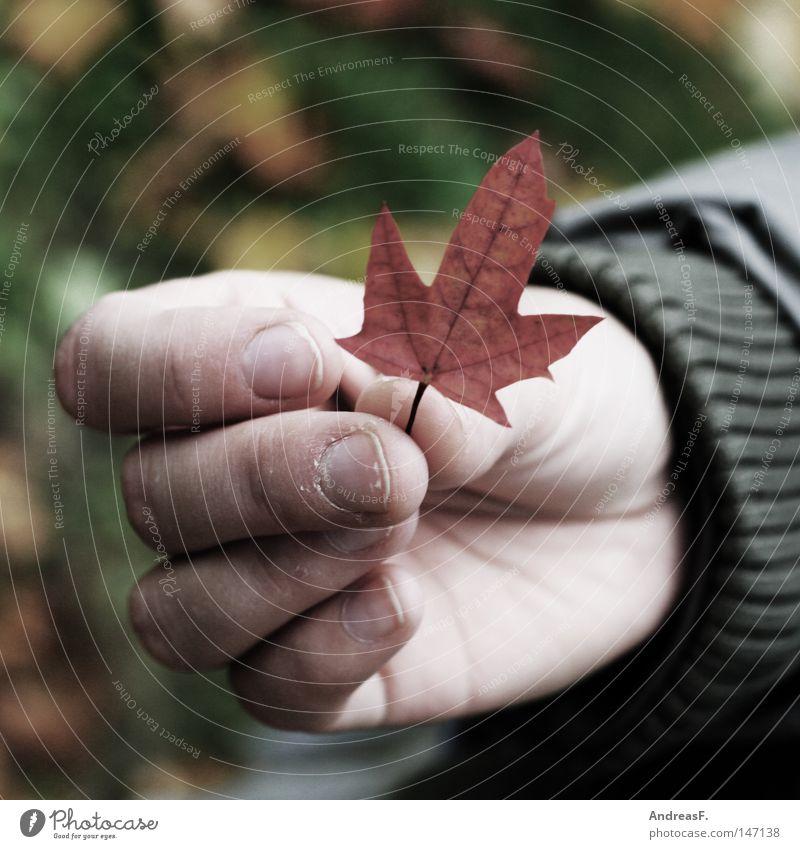ein stück canada Natur Hand Blatt Umwelt Herbst klein Finger festhalten Sehnsucht ökologisch Herbstlaub Fernweh Umweltschutz Kanada greifen nachhaltig