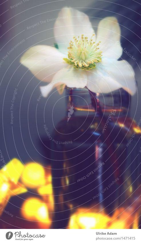 Christrose als Tischdeko harmonisch Dekoration & Verzierung Natur Pflanze Winter Blume Blüte Grünpflanze Winterblume Garten Park Blumenstrauß Vase Blühend