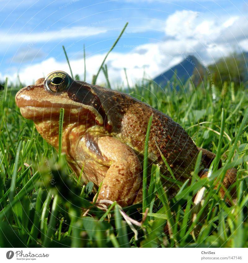 Grasfrosch : Wer hat der hat... Lurch Froschlurche Rana hüpfen springen Blick Fett entdecken braun grün blau Himmel Wiese Alpen Berge u. Gebirge Bergwiese