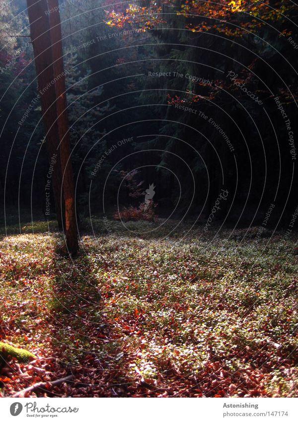 Herbst im Wald Baum Blatt dunkel hell braun grün Boden Baumstamm Gegenteil Geäst Zweige u. Äste Waldboden Licht Schatten Kontrast Menschenleer