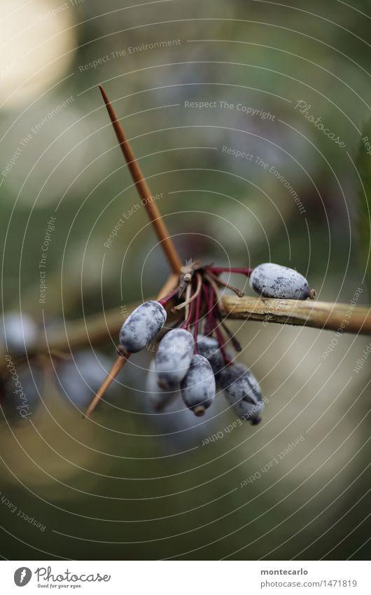 obacht Umwelt Natur Pflanze Sträucher Blüte Grünpflanze Wildpflanze Beerensträucher alt beobachten bedrohlich dünn authentisch einfach frisch kalt klein listig