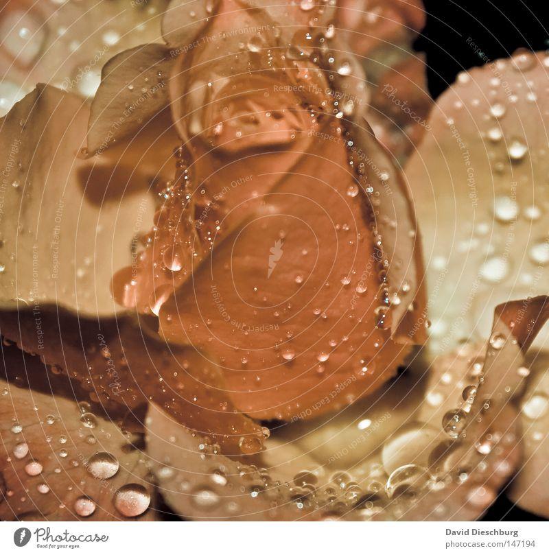 Rosentropfen Pflanze schön Sommer Farbe Wasser Blume rot Blatt gelb Leben Blüte Farbstoff rosa Regen glänzend Wassertropfen