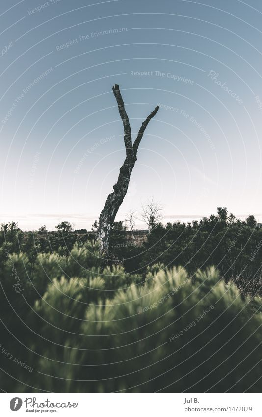 Tote Birke Umwelt Natur Landschaft Luft Wolkenloser Himmel Winter Wetter Pflanze Baum Moos authentisch standhaft Farbfoto Außenaufnahme Abend Dämmerung Licht