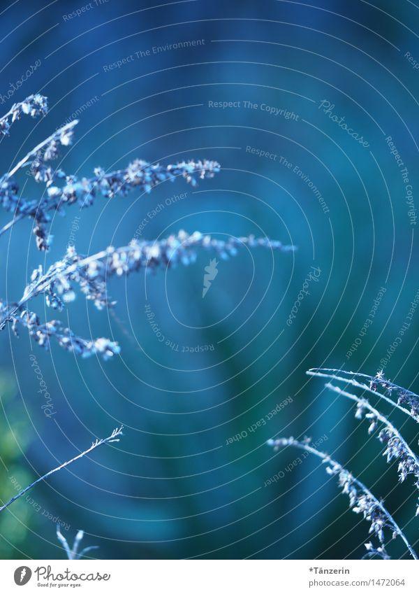 shades of blue Natur Pflanze blau schön Winter Herbst Wiese Gras natürlich Garten Park frisch Sträucher Schönes Wetter weich sportlich