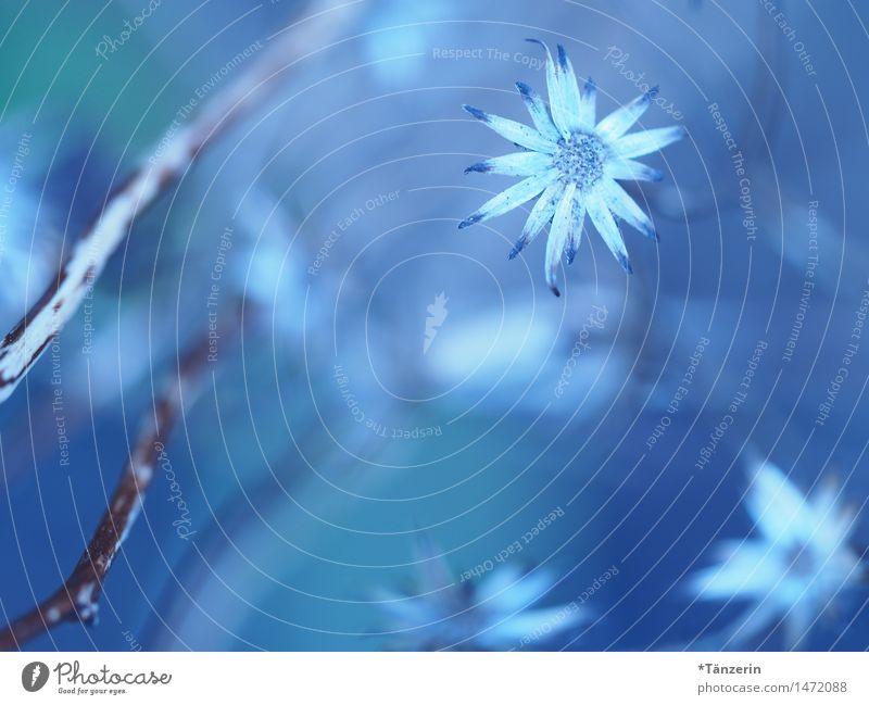 dezemberblau Natur Pflanze Winter Schönes Wetter Blume Blüte Garten Park ästhetisch frisch natürlich schön weiß Romantik ruhig Reinheit Farbfoto Gedeckte Farben