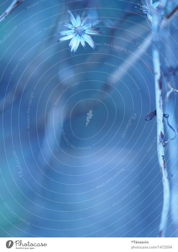 zart&fein Natur Pflanze Winter Schönes Wetter Blume Blüte ästhetisch natürlich positiv schön weich blau Farbfoto Gedeckte Farben Außenaufnahme Makroaufnahme