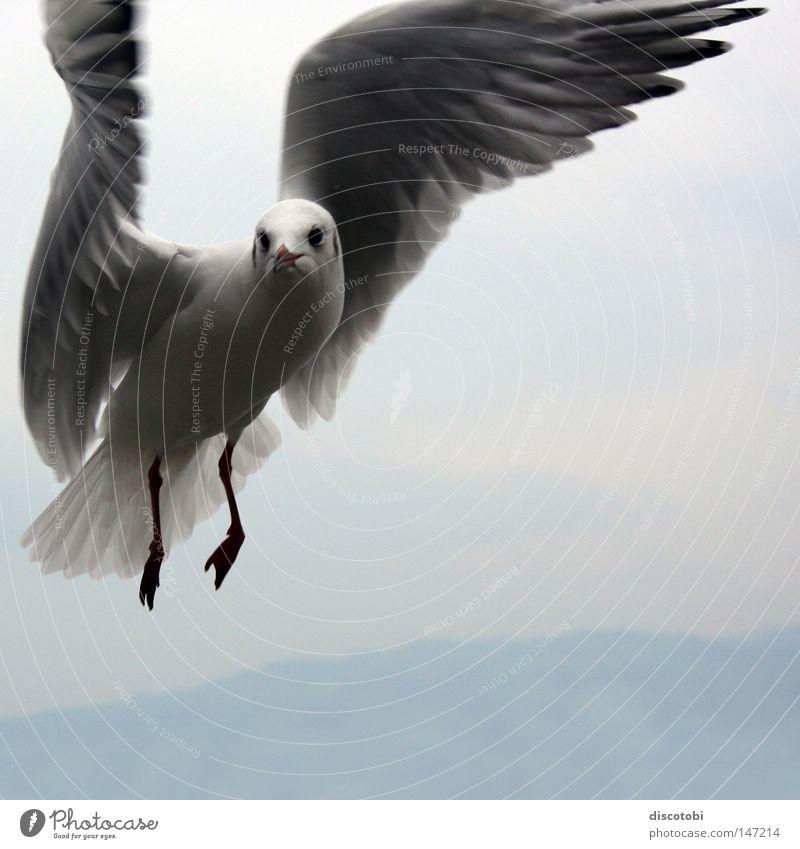 Der seltene Bodensee-Kolibri Luft Himmel Tiergesicht Flügel Vogel Möwe 1 fliegen groß kalt blau grau weiß Vogelflug Vor hellem Hintergrund Schweben