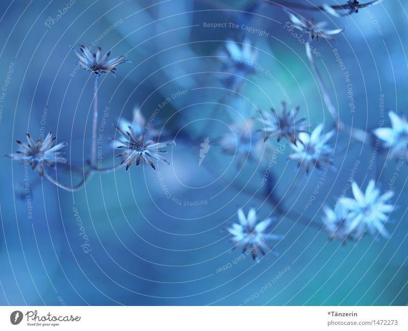 viele zarte blaue Blümchen Natur Pflanze Herbst Winter Schönes Wetter Blume Garten Park ästhetisch Fröhlichkeit natürlich schön geduldig ruhig Farbe Farbfoto