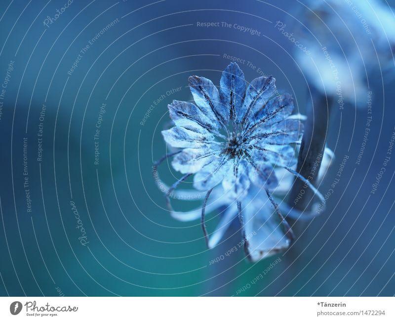 blaue Blume Natur Pflanze Herbst Winter Schönes Wetter Blüte Garten ästhetisch natürlich schön Romantik Gelassenheit ruhig Vergänglichkeit Farbfoto