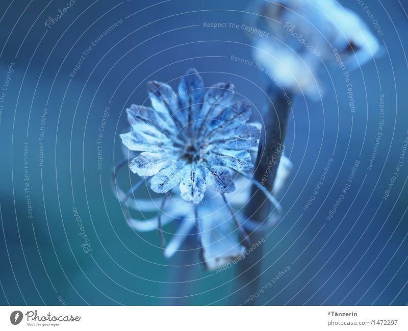 Blaue Blume Natur Pflanze Herbst Winter Schönes Wetter Blüte Garten Park ästhetisch frisch einzigartig natürlich positiv schön blau achtsam geduldig ruhig zart