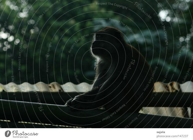 lieber einen affen auf dem dach... Baum schwarz sitzen Dach Asien Säugetier Affen Geäst Singapore Zweige u. Äste Wellblech Maki