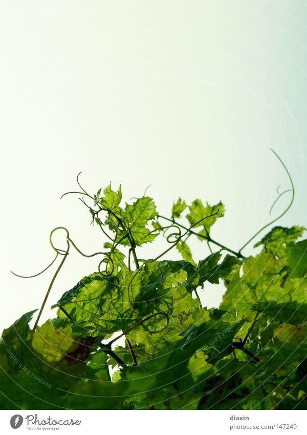 Bergsträsser Wein Farbfoto Außenaufnahme Menschenleer Textfreiraum oben Tag Licht Sonnenlicht Gegenlicht Alkohol Sekt Prosecco Champagner Natur Pflanze Sommer