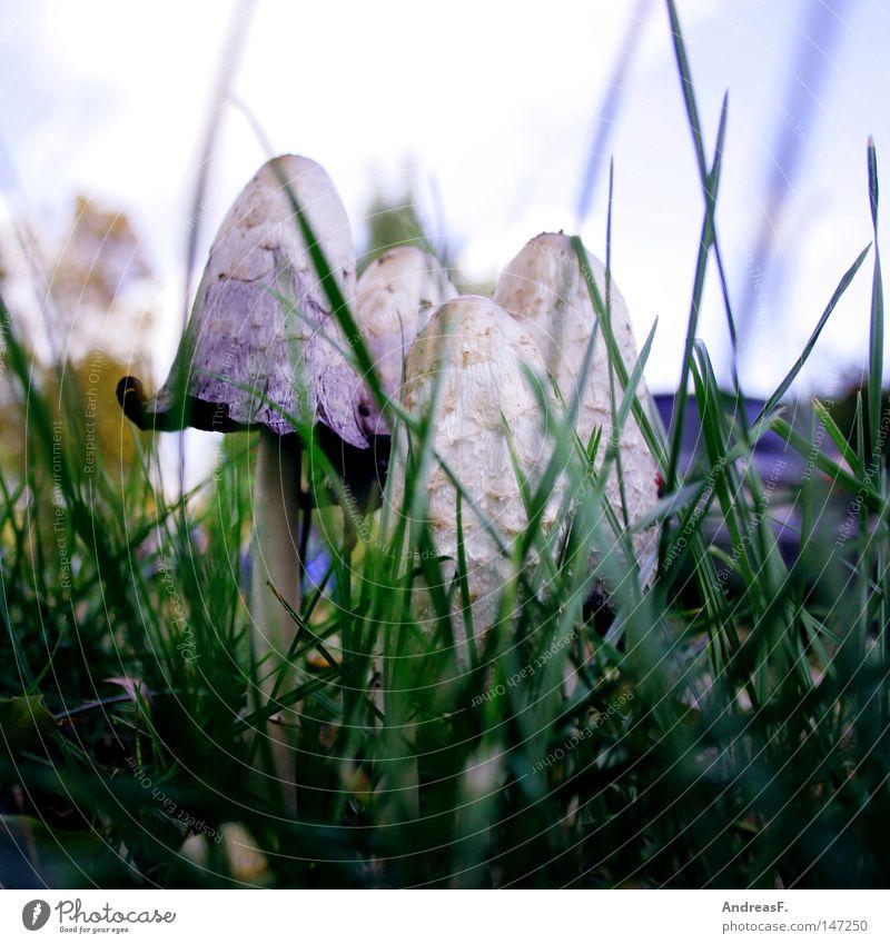 am Straßenrand Pilz Gras Herbst Wegrand verstecken verborgen Schirm KFZ Schadstoff Feinstaub pilze sammeln pilze suchen schadtstoffbelastung schöpfling