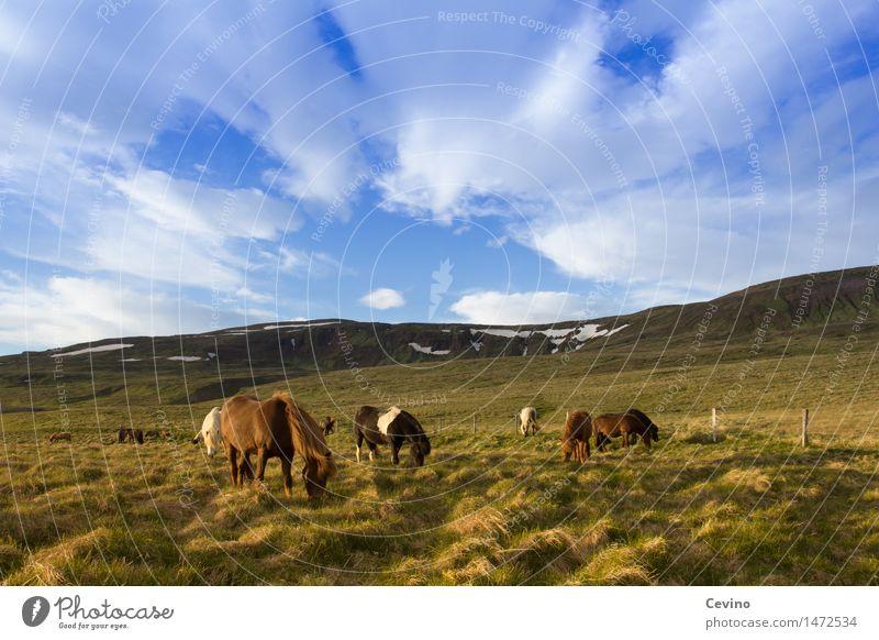 Islandpferde Luft Himmel Wolken Wetter Schönes Wetter Gras Wiese Feld Berge u. Gebirge Schneebedeckte Gipfel Tier Nutztier Pferd Island Ponys Tiergruppe Herde