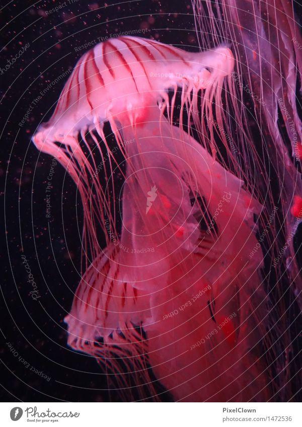 Quallen Ferien & Urlaub & Reisen Abenteuer Meer Natur Tier Aquarium Tiergruppe Schwimmen & Baden rot ästhetisch Umwelt Farbfoto mehrfarbig Nahaufnahme