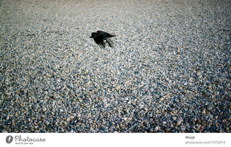 back to air Natur weiß Tier schwarz grau fliegen braun Vogel Sand Park Flügel Fluss Flussufer frech Isar