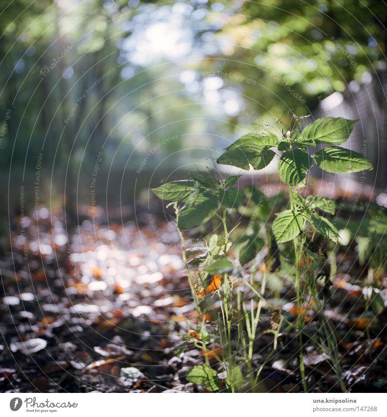 impatiens Sonne Natur Herbst Gras Blatt Grünpflanze Wald grün Springkraut Herbarium Jahreszeiten Fußweg Wegrand Spaziergang Unkraut Licht Unschärfe