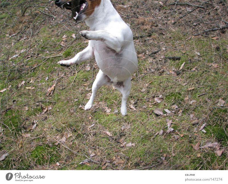 Luftsprung Hund Gefühle springen Energiewirtschaft Ziel Gebiss Konzentration Jagd beißen Tier fletschen Jack-Russell-Terrier freihändig