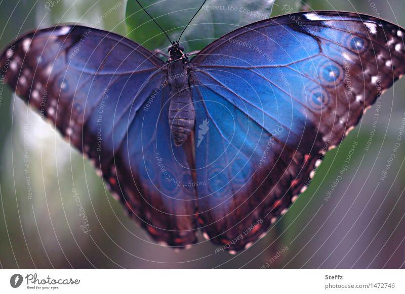 Blauer Morphofalter II Natur Schmetterling Flügel blauer Morphofalter Edelfalter Augenfalter nah natürlich schön elegant Leichtigkeit exotisch Blauverlauf